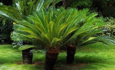 Hot Sale 2016 New 30pc / sac d'origine Cycas Graines rares Monde 20 variétés Graines Bonsai arbres pour le jardin