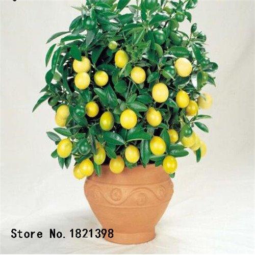 50 pcs/sac graines de citronnier avec emballage hermétique * graines de fruits * Heirloom disponibles en plein air à l'intérieur des graines de citron Livraison gratuite 4