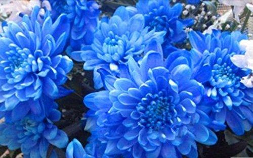 10 graines Blue Seeds beaux jardins Bonsai usine semences de fleurs