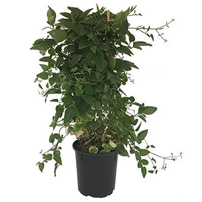 clematis plants live