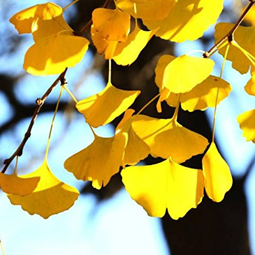 Tomasa Gartensamen- Golden Ginkgo Baum Samen Fächerblattbaum Pflanzensamen Bonsai Baum Samen winterhart mehrjährig Exotischer Ginkgo Pflanzen