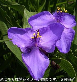 【紫桜館山の花屋】ムラサキツユクサ 紫花9cmポット苗 (2ポットセット)