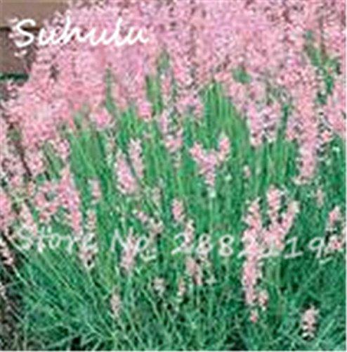 50 Partikel selten Lavendel Samen rosa und weißen schöne Blumensamen Außentür Bonsai für Hausgarten 1 Bepflanzung