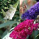 3 X Sommerflieder-Sortiment: 3-er set Schmetterlingsflieder, Duftend und Winterhard | Je eine Pflanze Buddleia davidii 'Empire Blue', 'Royal Red' und 'White Profusion ' | 3 X 1,5 Liter Topf