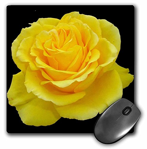 3dRose LLC 8 x 8 x 0.25 Inches Mouse Pad Yellow Rose Close Up Photograph of Yellow Rose of Texas Isolated on Black Background (mp_128284_1)