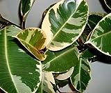 Variegated Rubber Tree Ficus Elastica...