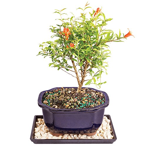 Brussel's Live Dwarf Pomegranate Indoor Bonsai Tree - 5 Years Old; 8' to 12' Tall with Decorative Container, Humidity Tray & Deco Rock
