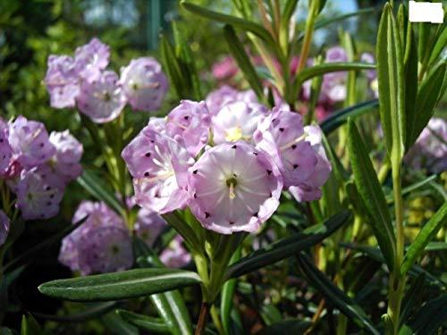 Kalmia polifolia - Berglorbeer polifolia - Lorbeerrose