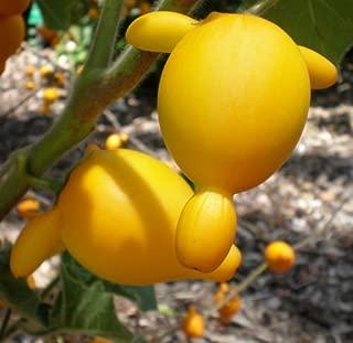 NIPPLEFRUIT Exotic Solanum mammosum Titty Rare Fruit Cow's Udder Seed -25 Seeds