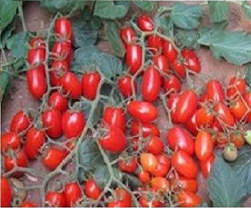 L?gumes Tomate???Modus F1?5?graines???Economy Lot