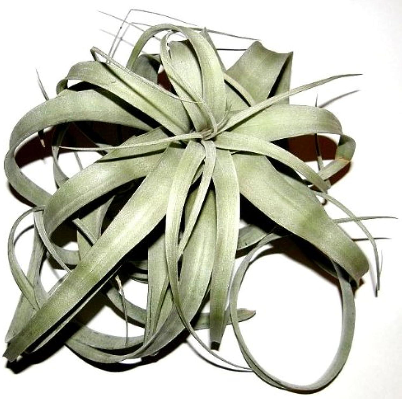 3 pieces xerographica Tillandsia, Tillandsia for terrariums, epiphytes