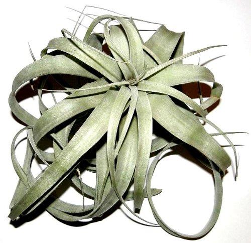 3 Stück Tillandsia xerographica, Tillandsien für Terrarien, Aufsitzerpflanzen