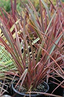 Live Plant - Phormium 'Jubilee' PP19,059-1 Plants- 1 Feet Tall. 1 Gal Pot