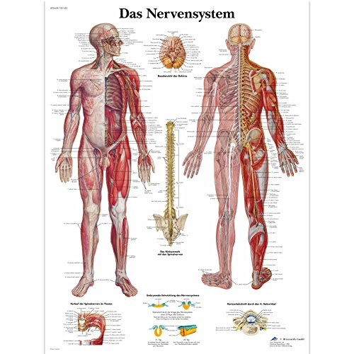 3B Scientific Lehrtafel - Das Nervensystem, VR0620UU