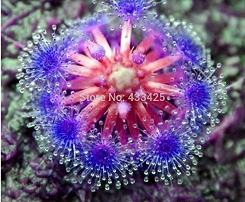 Bonsai graines de sundew Bleu enchantress table Plante carnivore Pot Drosera peltata Seeds Radioprotection 10 graines