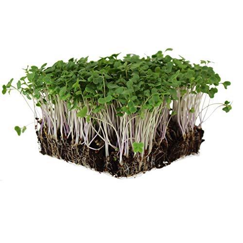 Waltham 29 Broccoli Seeds | Non-GMO Bulk Heirloom Broccoli Seeds for Sprouting,...