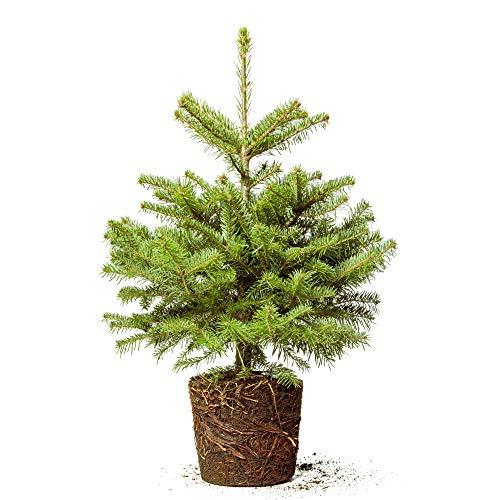 Weihnachtsbaum Tannenbaum Christbaum Nordmanntanne im Topf gewachsen mit stabilen Wurzelballen (100-120cm)