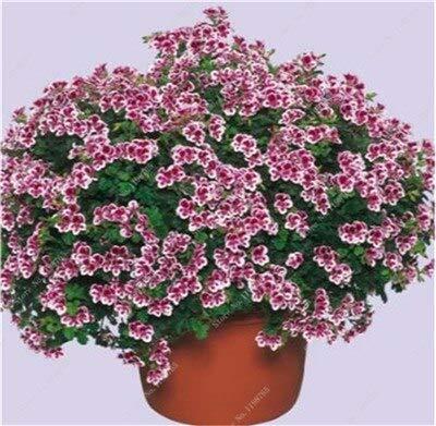 Generic Fresh 100 Pcs Geranium Flower...