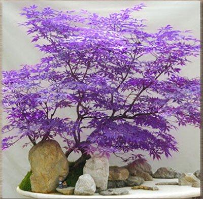 50 PCS rares graines de l'érable vert et violet Couleur Rouge Feuillage Bonsai Jardin Plante en pot pour Flower Pot Planters 2