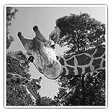 Impresionantes pegatinas cuadradas (juego de 2) 7,5 cm BW – divertido jirafa africana animal salvaje divertido calcomanías para portátiles, tabletas, equipaje, reserva de chatarras, neveras, regalo fresco #42934