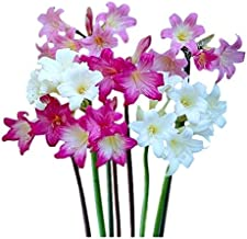 Amaryllis Belladonna Lily, Fragrant Naked Lady Lilies, 3 Big Bulbs - 2.5