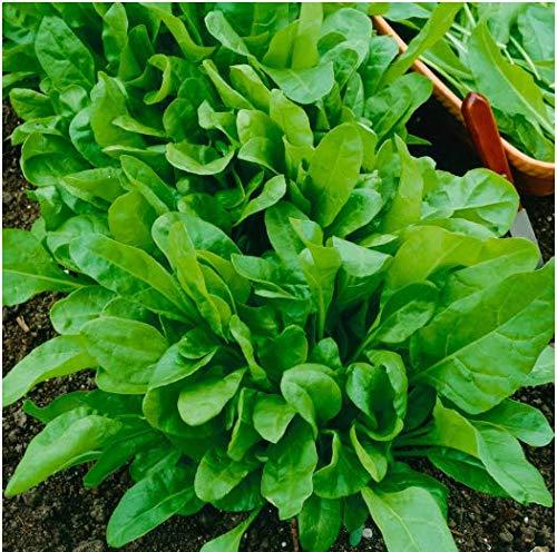 Tomasa Gartensamen- Bio Spinatsamen Kiepenkerl Spinat Samen Gemüsesamen winterhart mehrjährig Neuseeland Spinat Bonsai Immer frische Gemüse Gartenpflanzen