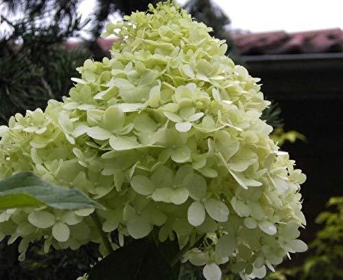 Rispenhortensie Limelight® - Hydrangea...