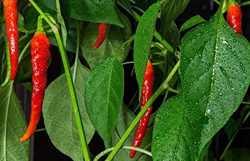 Home Comforts LAMINATED POSTER Hot Nature Chili Rood Rijzende Peper Plant Natte Poster Print 61 x 91.5