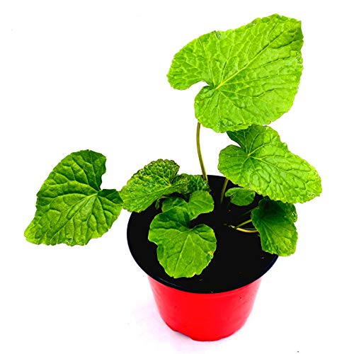 Wasabi Pflanze Wasabi japonica 2stk./ Kräuter Pflanze