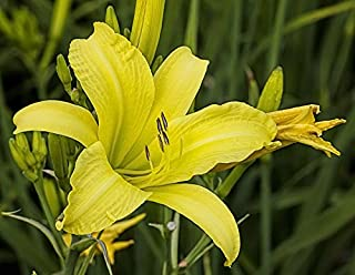 Lemon Yellow Daylily: 10 Bareroot Hemerocallis 1-2 Fans Tennessee Grown