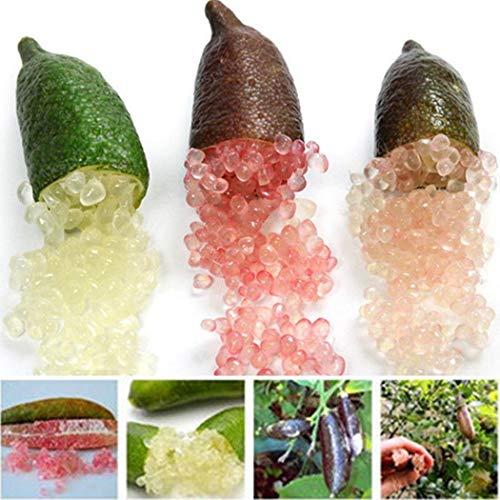 Tomasa Samenhaus - Bio Kaviar-Limette Obst Saatgut Raritäten Finger Limes Citrus Samen mehrjährig winterhart Obstsamen exotische Pflanzen Saatgut für Balkon, Garten