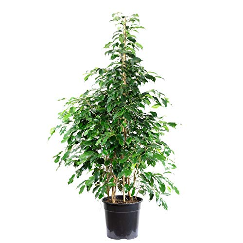 Birkenfeige 'Danielle' - Ficus benjamini - Höhe ca. 160 cm, Topf-Ø 27 cm