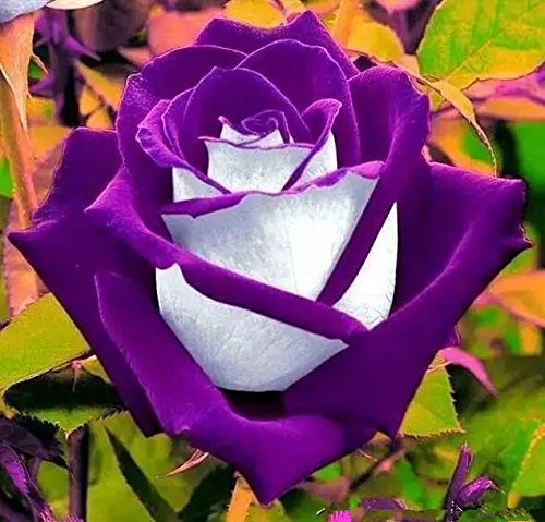 200PC purple jade Rose seed. Bonsai flower seeds. Simple planting