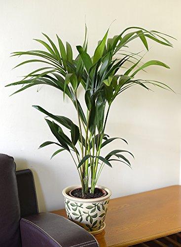 Plante d'intérieur - Plante pour la maison ou le bureau - Kentia (Howea forsteriana) - Palmier Kentia, 70 cm de haut.