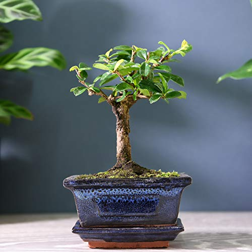 Indoor Bonsai Tree in Ceramic Pot House Plant Easy to Grow Evergreen Variety Carmona for Home, Office & Conservatory 1 x 12cm Pot by Thompson & Morgan