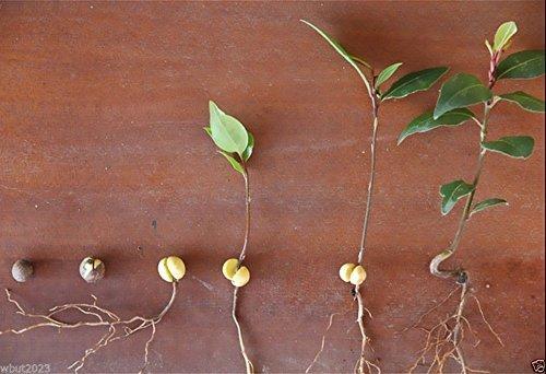 Pinkdose5 Samen Lorbeerblatt Pflanze Aka Sweet Bay, Lorbeer Lorbeer, True Laurell, Laurus Nobilis
