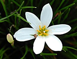 SLRIPL Zephyranthes Rain Lily Flower Bulbs for Indoor and Outdoor Garden (White) - Pack of 15 Pieces