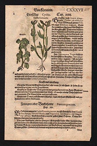 Klee Geißklee Bockshorn herbs herbal...
