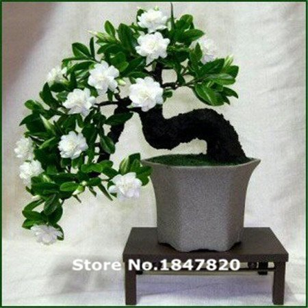 AAA 100 Gardenia Seeds (graines Cape Jasmine DIY jardin en pot Bonsai, l'odeur et de belles fleurs incroyable,