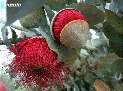 100 Pcs/Sac Rare Eucalyptus arc-en-floraison Graines, Graines Arbre tropical, Eucalyptus plantes pour jardin d'ornement Bonsai 9