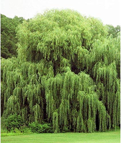 2 Golden Weeping Willow Trees - Ready to Plant - Live Plants - Beautiful Arching Canopy