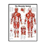 Muskelsystem Wall Chart Naturgetreue anatomische Poster Learning Muskel-Anatomie-Diagramm