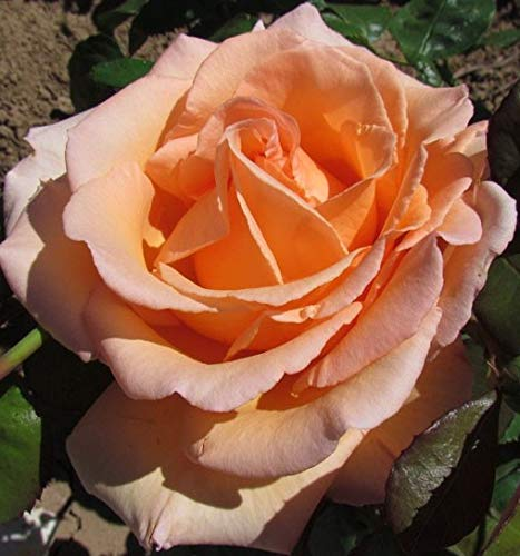 Over The Moon - 5.5lt Potted Hybrid Tea Garden Rose Bush - Huge and Highly Attractive Deep Apricot Blooms on Tall Sturdy Stems - Tough & Healthy Foliage, Ideal Gift for All Happy Occasions
