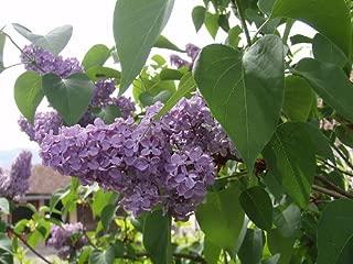 Best lilac vulgaris shrub Reviews