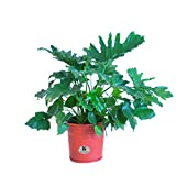 United Nursery Philodendron Selloum Tree Philodendron Indoor Live...