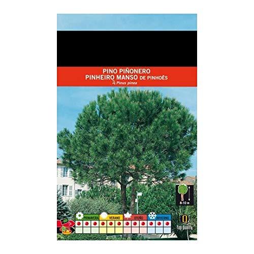 Semillas de Pino Piñonero 30 Semillas Vivas de Pinus Pinea Árbol Piñas