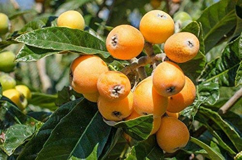 Níspero del árbol frutal de 20 semillas frescas de la cosecha de esta temporada