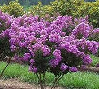 dwarf crape myrtle trees for sale