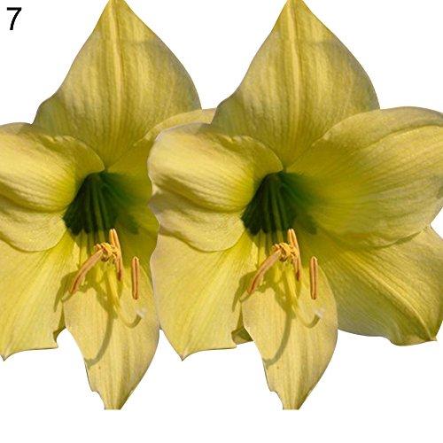 C-LARSS 100 Stück Amaryllis Hippeastrum Samen, Home Balkon Garten Dekor Blumenpflanzen Grün