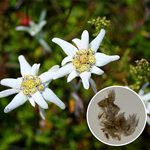 Somerway 100Pcs/Beutel Edelweiss Samen, Weiße Blumensamen Zum Pflanzen, Gartengeschenk Wildblumensamen Für Garten Balkon Dekor Edelweißsamen